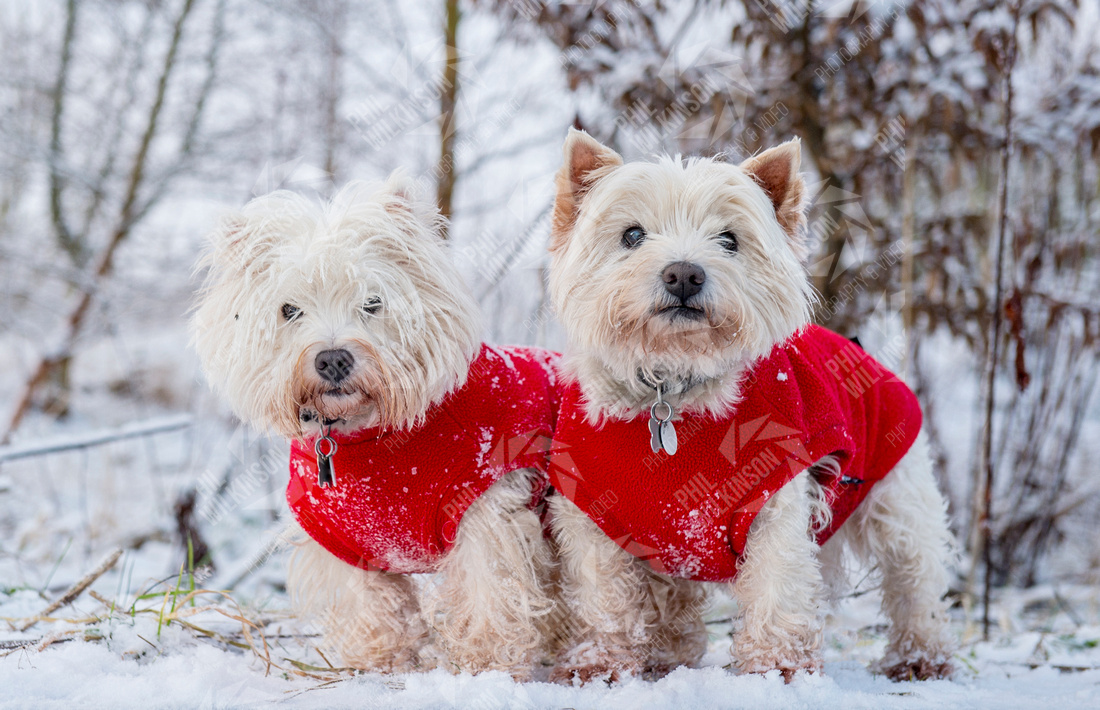 White West Highland Terriers in snow with red coats, Scotland snow weather dogs